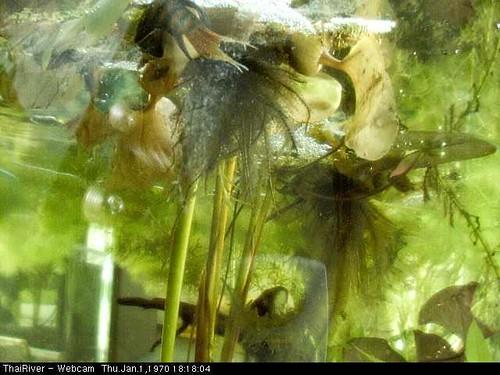 Paradiesfisch-Paarung1