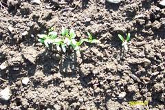 weed-free cilantro!