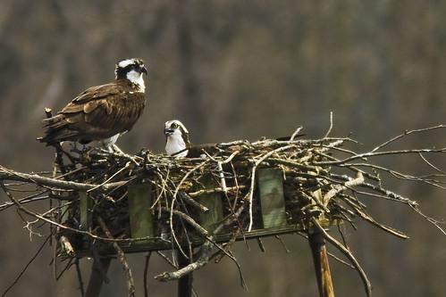 Osprey Pair at Wildwing Lake 1