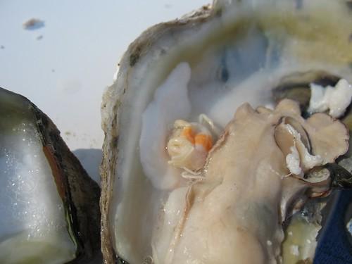 Yucky Oyster