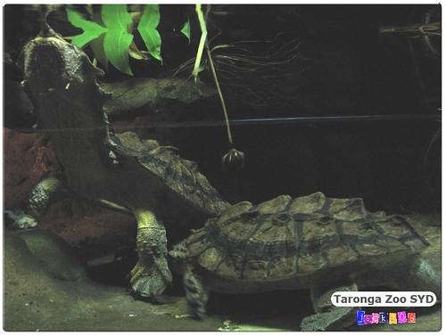 Taronga Zoo - Mata Mata