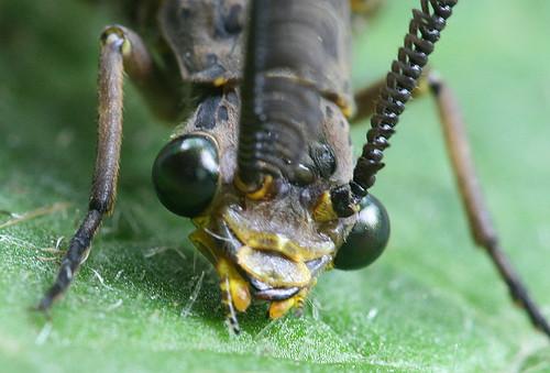 Spring Fishfly - male