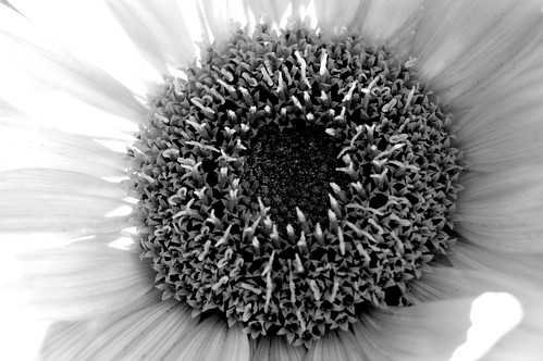 Sunflower - infrared
