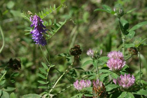 Cow Vetch, Vicia cracca, and Red Clover, Trifolium pratense