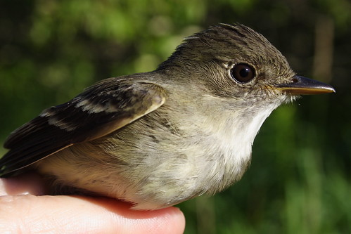 I'm a flycatcher, but guess which kind!