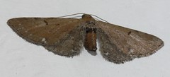 Brown moth - possibly another wormwood pug