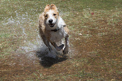 Happy Dog, Water Play