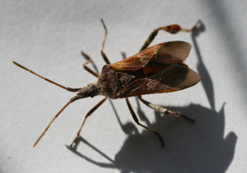 Western Conifer Seed Bug (Leptoglossus occidentalis)