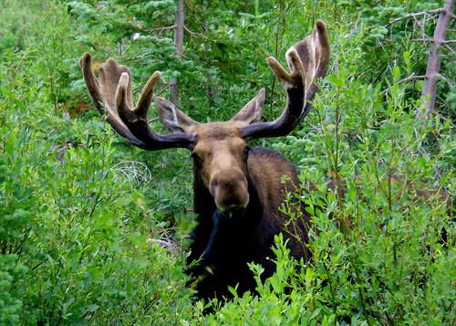 Shiras Moose - Grand Teton National Park
