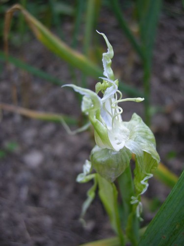 garlic1544