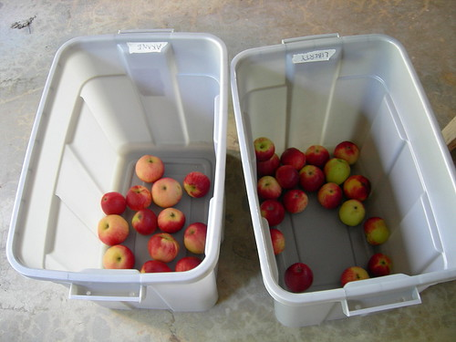 Tubs of cider apples