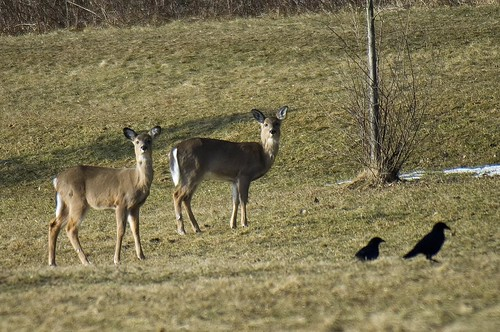 Deer and Crows