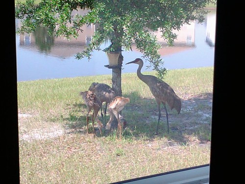 two adult sandhill cranes and two young chicks eat the seeds from our backyard birdfeeder