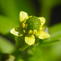 Kidney-leaved Buttercup Closeup