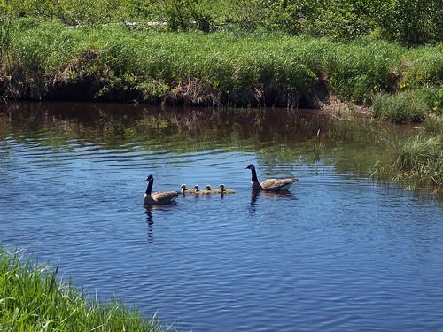 Geese, goslings