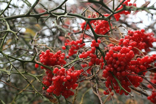 Viburnum berries amongst thorns