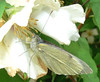 Butterfly on philadelphus
