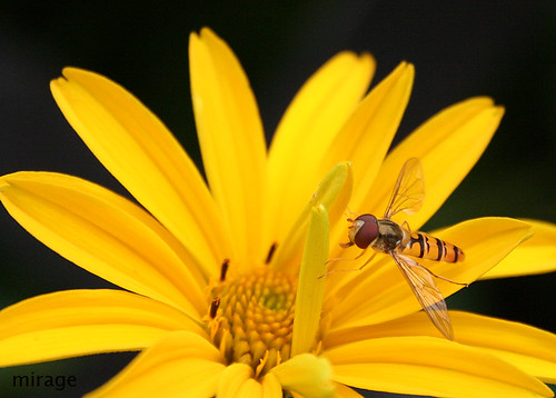 hoverfly1