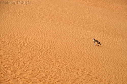 Fox of Desert by TARIQ-M