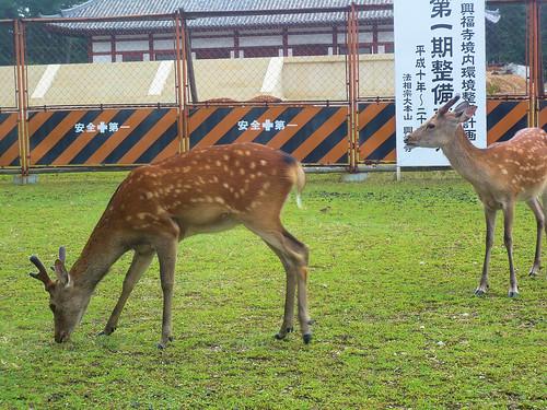 Deers near Kofukuji Temple