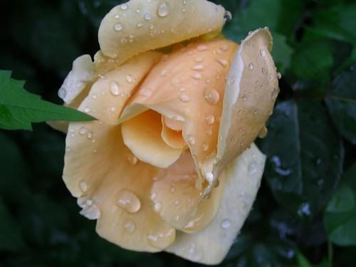 Pretty Peach Rose