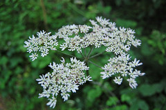 Smelt the cow parsley