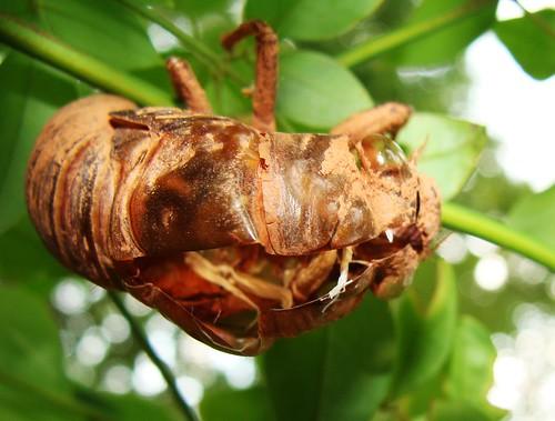 for rent - slightly used cicada exoskeleton, s...
