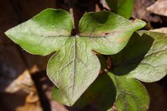 Sharp-lobed Hepatica Leaf, Camp Timbercrest, April 6, 2008