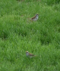 Some sort of sparrow