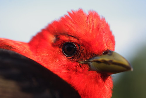 Scarlet Tanager - Closeup