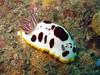 Nudibranch (Chromodoris splendida) at the Leap