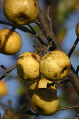 last wild apples