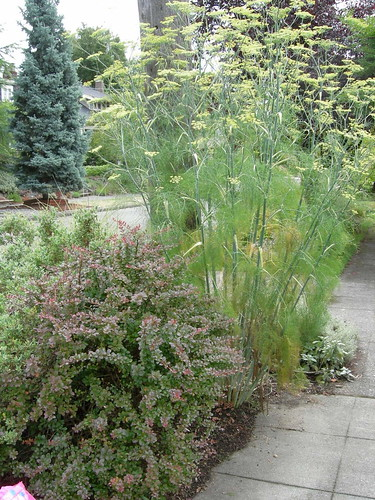 Tall fennel