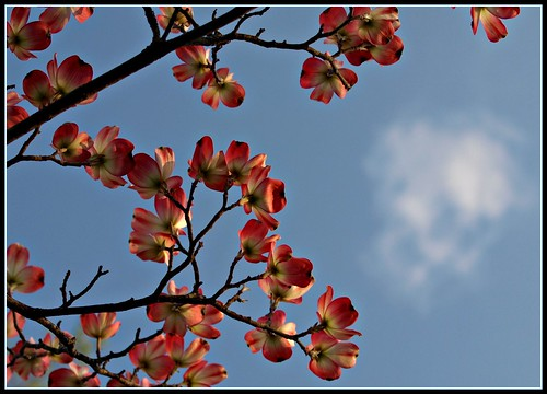 Dogwoods Accent the Skies