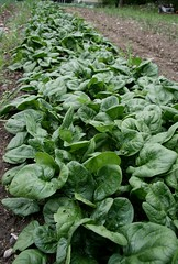 spinach ready for harvest
