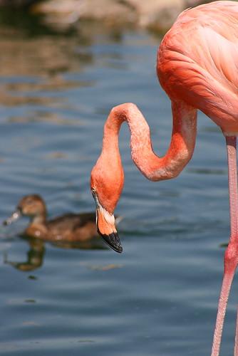 Caribbean Flamingo (Phoenicopterus ruber)