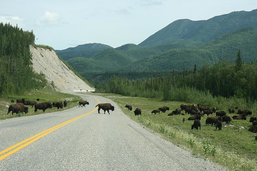 Bison Xing by you.