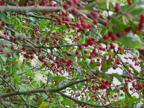 Crabapple fruit at UW Arboretum