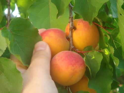 apricot 4 杏桃