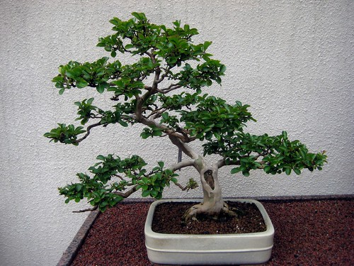Bonsai in the Japanese Pavillion