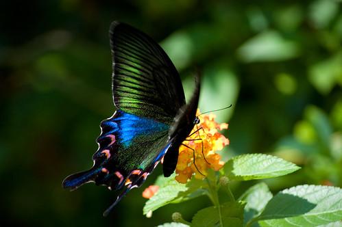 Papilio bianor kotoensis