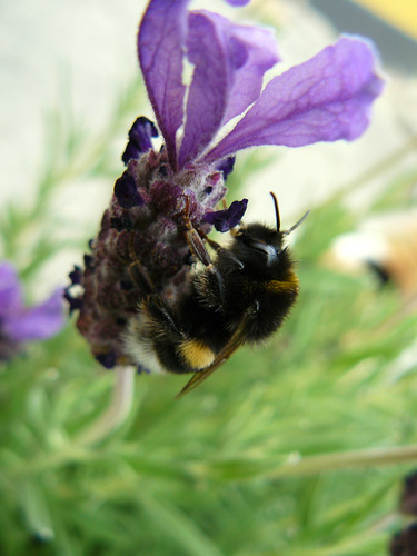 Bumble bee in a lavender