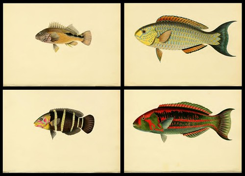 Fishes of Ceylon 1834