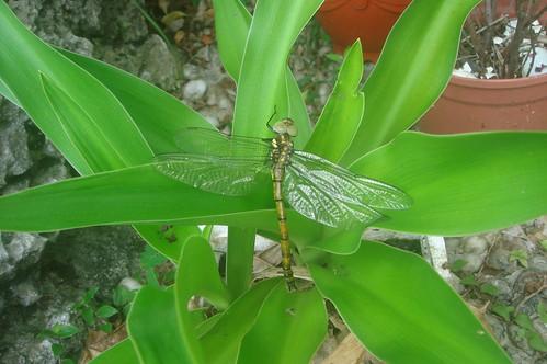 被救起的蜻蜓3