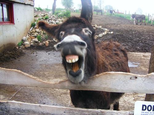 Hershey laughing