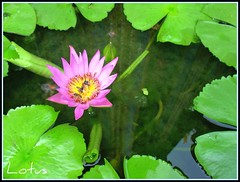 """ LOVE "" LOTUSES always :-)  ^__^"