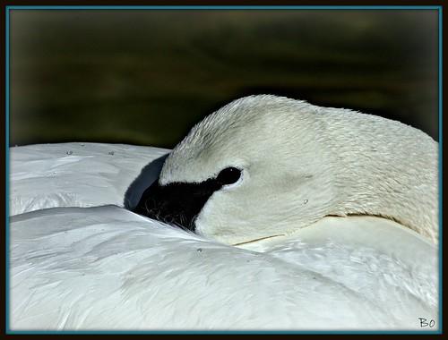 Resting Trumpeter Swan