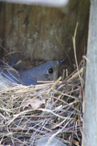 Eastern Bluebird Female on the Nest