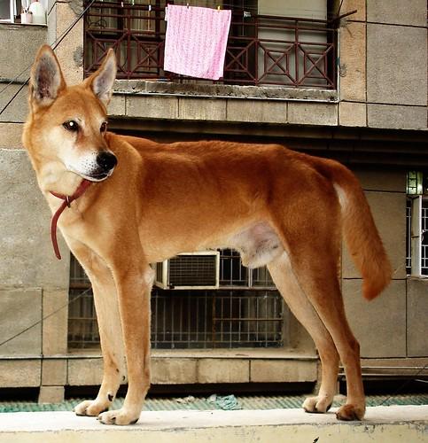 RIP - Jango the dingo