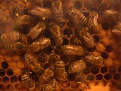 Bees, Chinook Honey Company